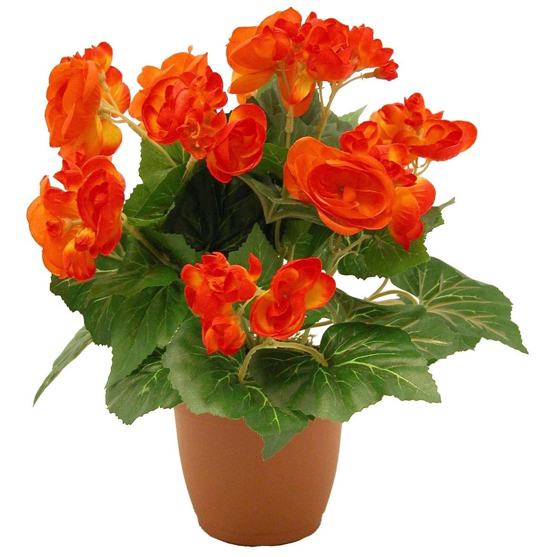 бегония фото цветов в горшке благодаря высокому уровню